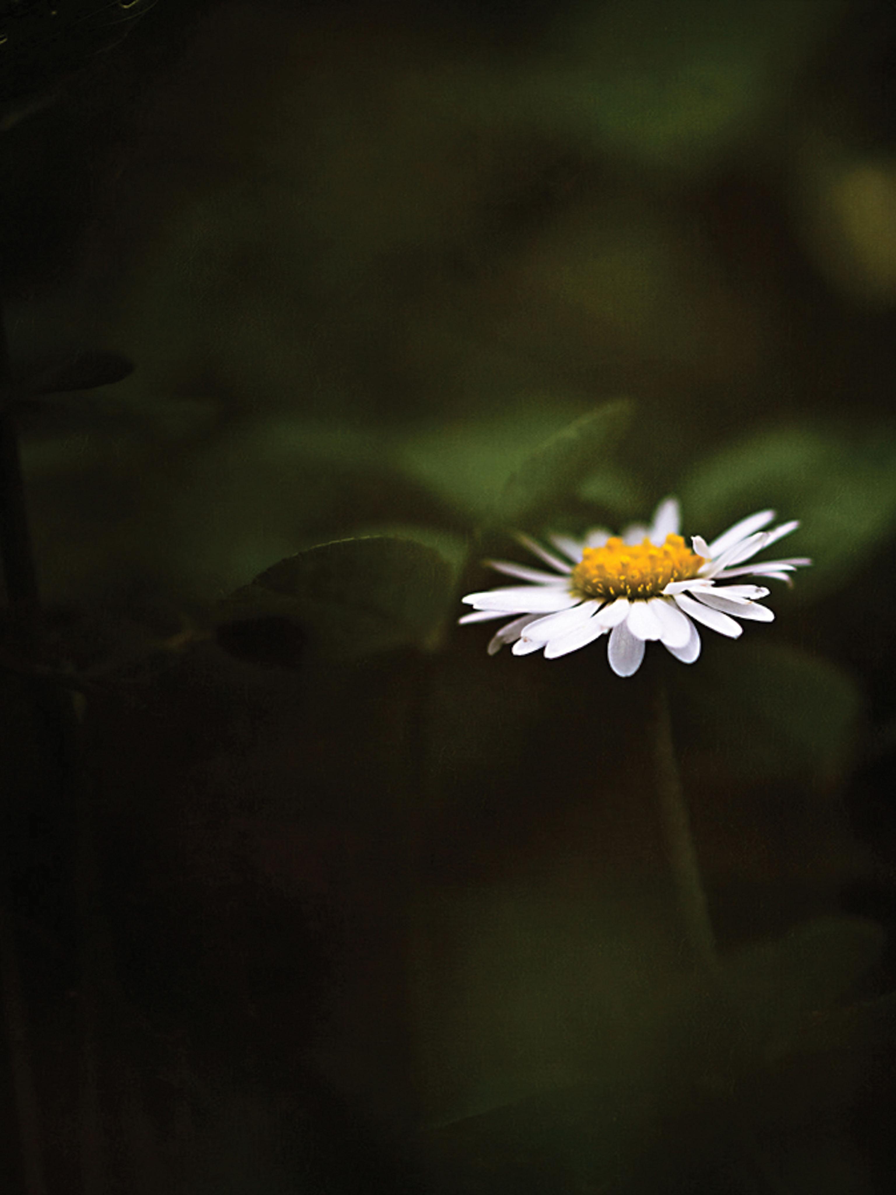 daisy flower mobile wallpaper | miniwallist