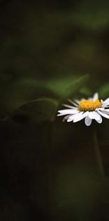 Daisy Flower Mobile Wallpaper
