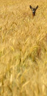 Deer In The Wheat