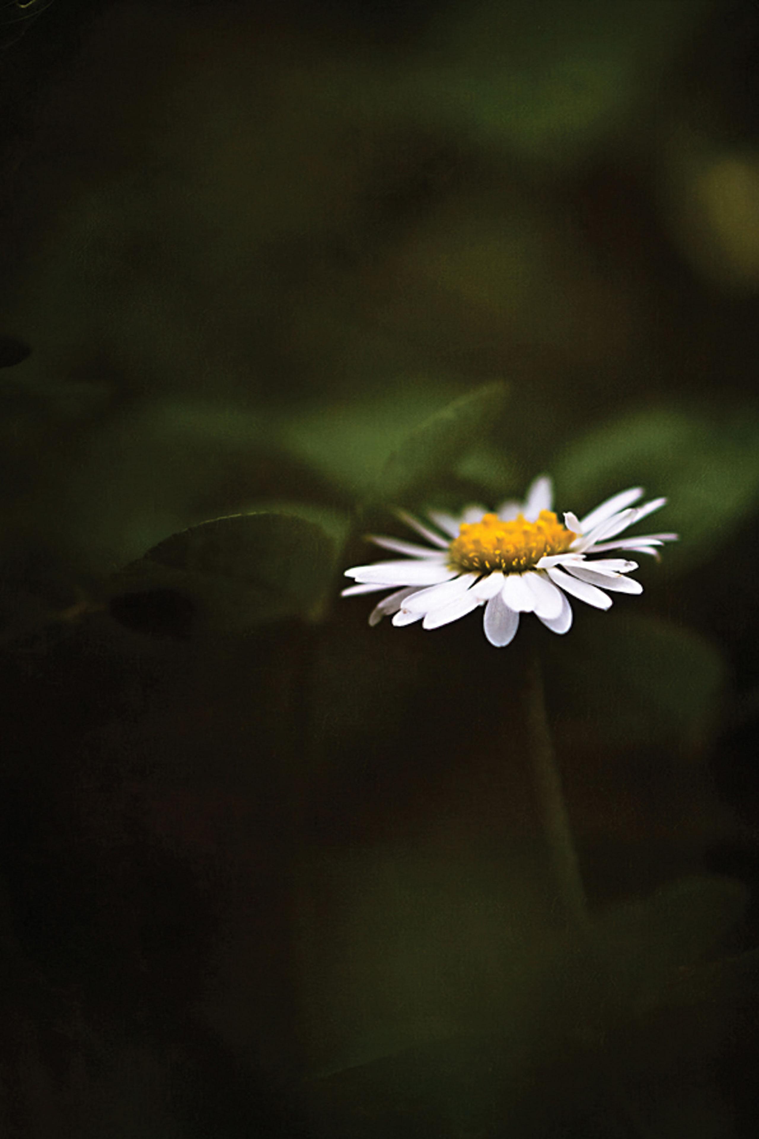 Daisy Flower Mobile Wallpaper Miniwallist