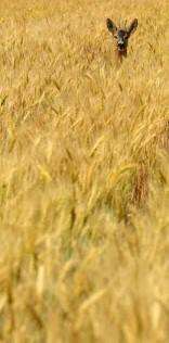 Deer In The Wheat